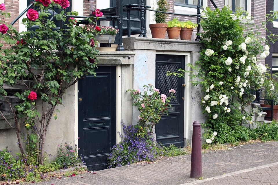 In Photos: Wild Roses in Amsterdam