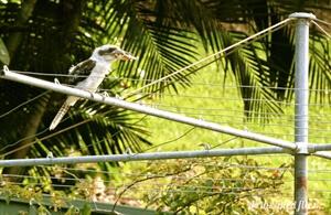 Kookaburra sits on the old gum tree...