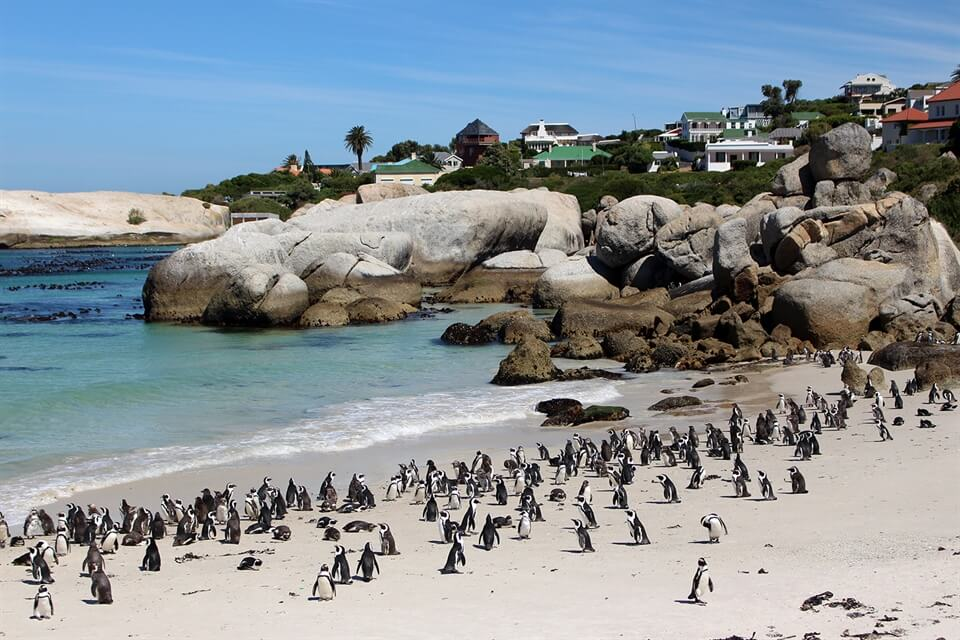 penguin in cape town