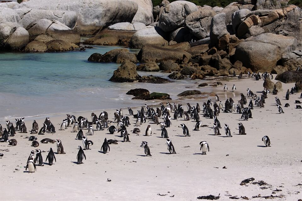 In photos: African Penguins at Boulders Beach, Cape Town